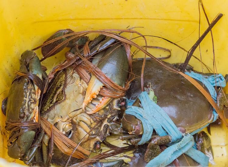 fresh mud crabs