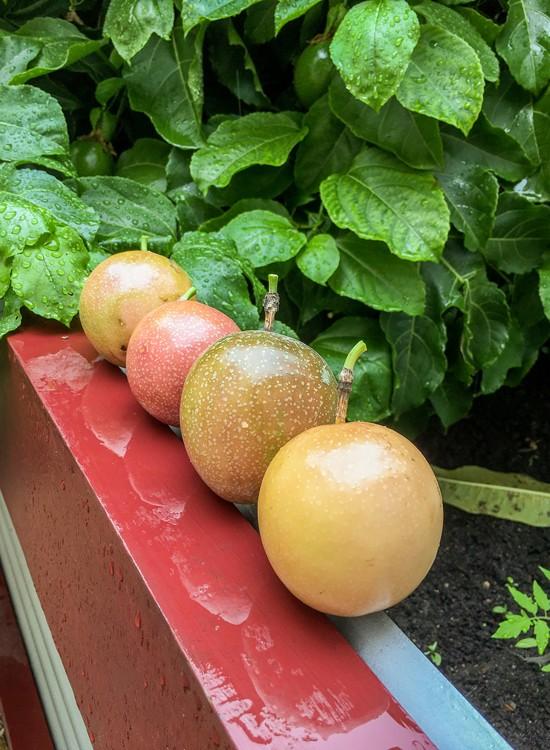 ripe passion fruit