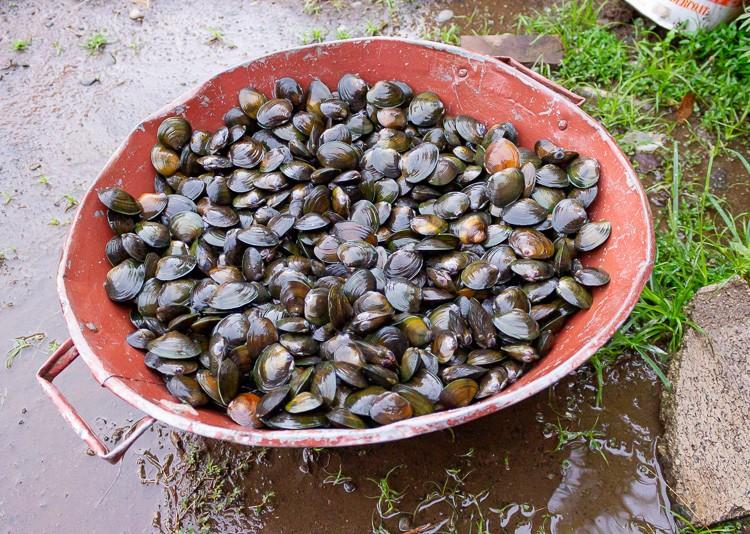fresh kai mussels