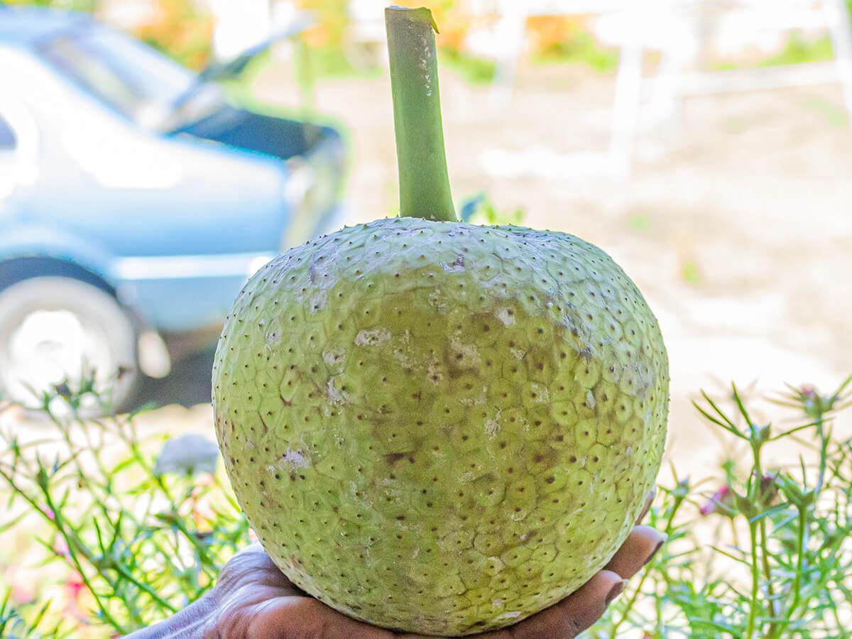 breadfruit or uto